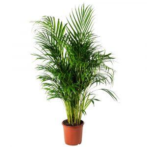 Palmeira-Areca-Bambu-Vaso-de-5-Litros