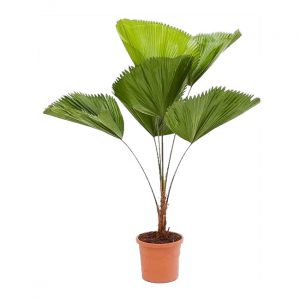 Palmeira-de-Leque-Vaso-de-16L