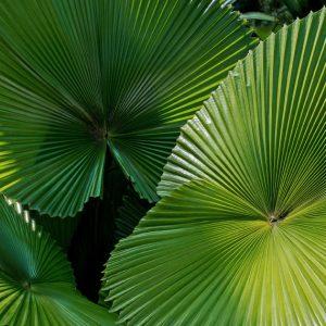 Palmeira-de-Leque_espaco